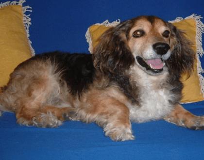 acupuntura cachorro labirintite