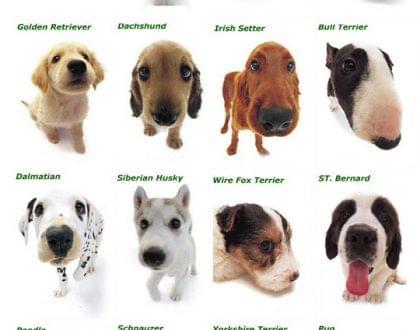 cachorro raça