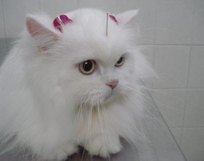 gato problema de pele acupuntura