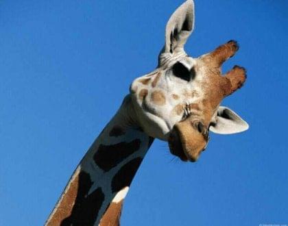 girafa cervical pescoço