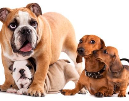 como calcular a idade dos cães