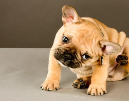como combater pulgas e carrapatos em cães e gatos
