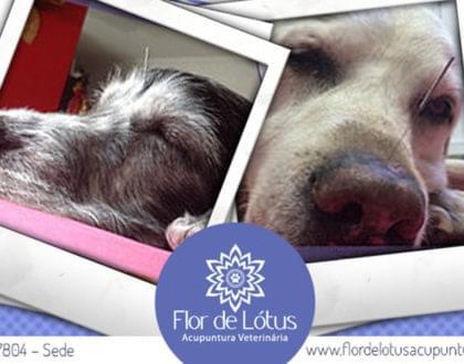 vantagens da acupuntura em cães